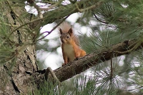 Raven Point Red Squirrel (Wexford Trails)