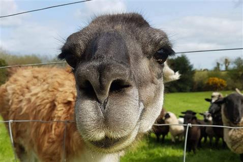 Blackwater Open Farm llama