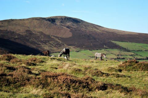 horses grazing under Mount Leinster