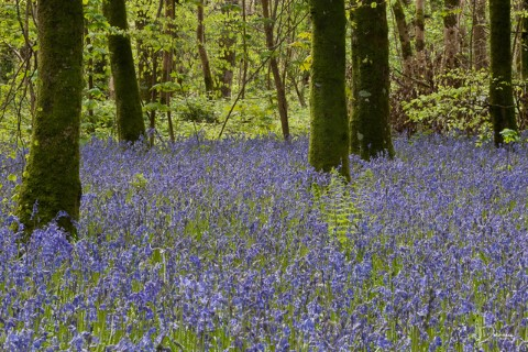 bluebells on the forest floor in Dunbrody Forest